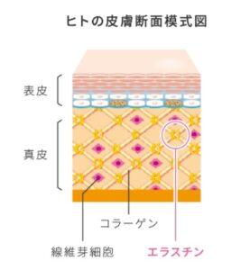 ヒトの皮膚断面図