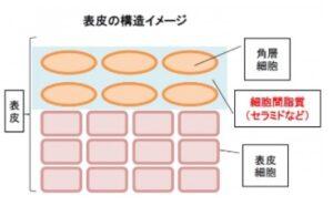 表皮の構造イメージ